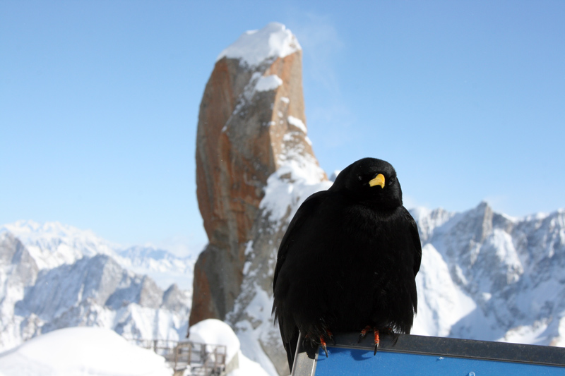 Bird-in-Chamonix