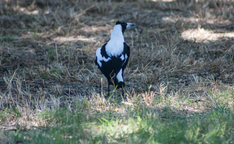 Father-magpie