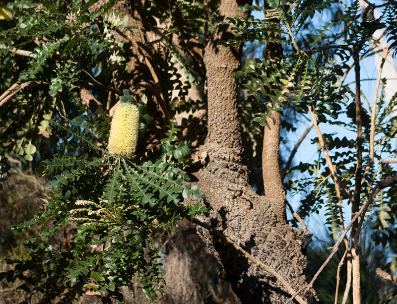 Banksia-tree