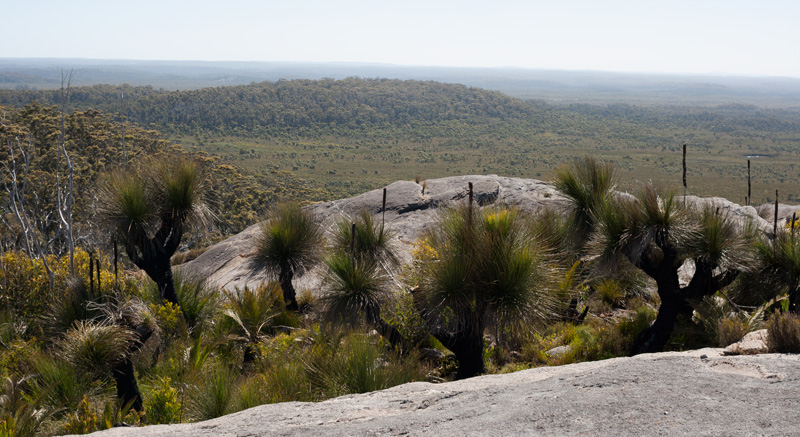 Grass-trees-on-mt-chudalup