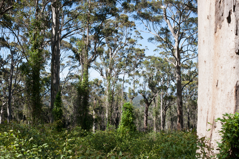 Mt-Chudalup-forest-regrowth